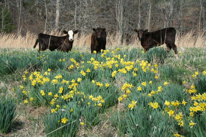 calves in daffodils