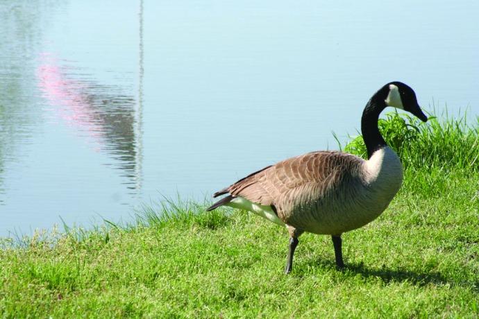 canada goose boy, flag