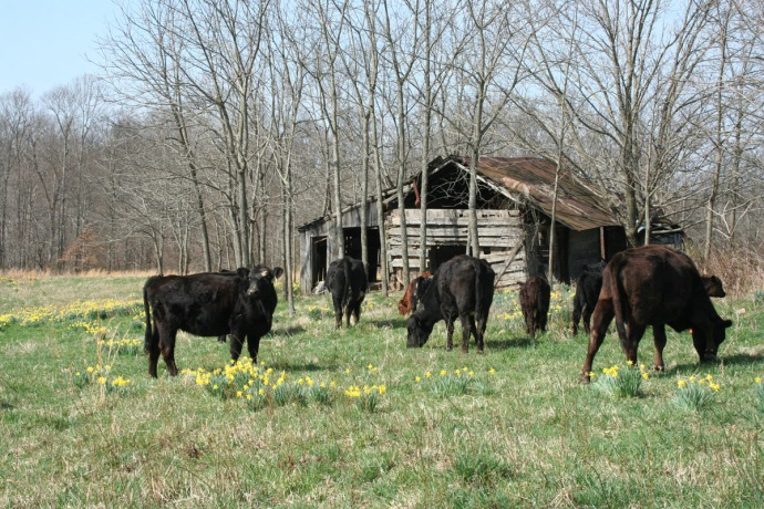 cows by cabin