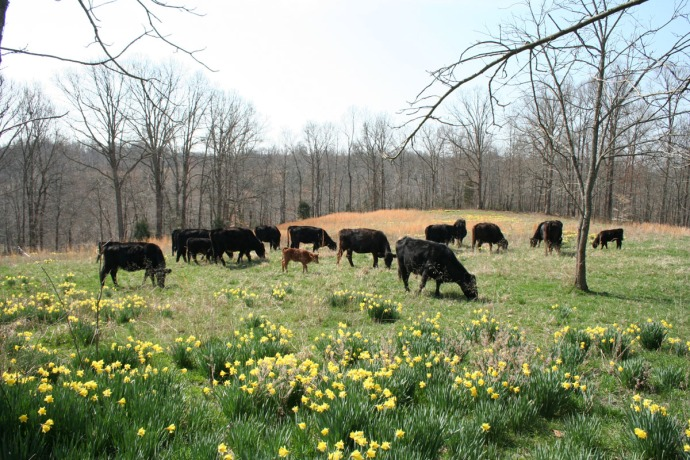 cows grazing, daffodils