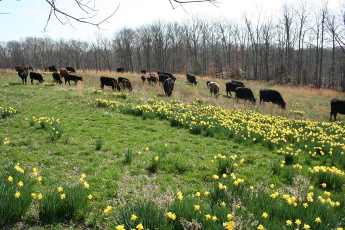 cows in daffodils 3
