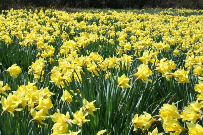 daffodil field, creek bottom