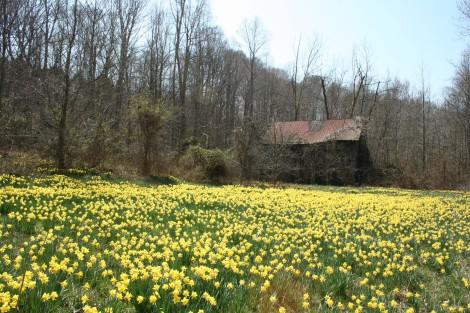 daffodils and barn, bottom