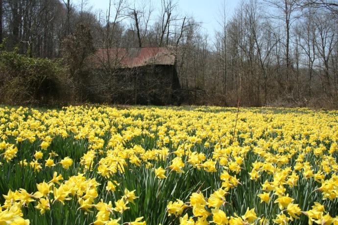 daffodils and barn