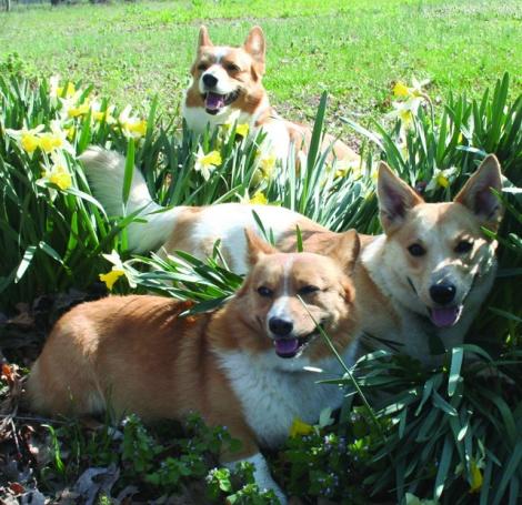 dogs in daffodils, cmyk