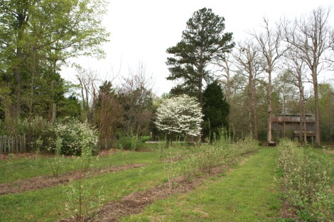 dogwood & blueberries blooming