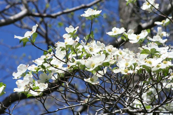 dogwood, closeup blue skies