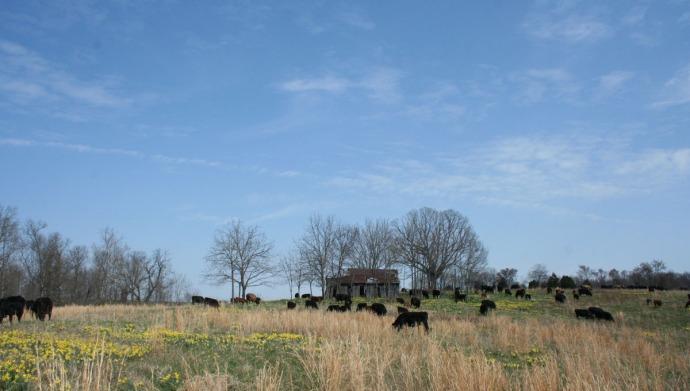 herd below cabin, daffodils