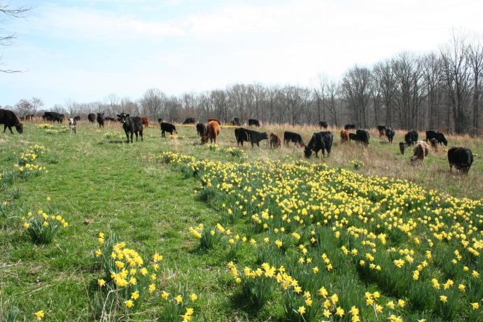 herd in daffodils 2