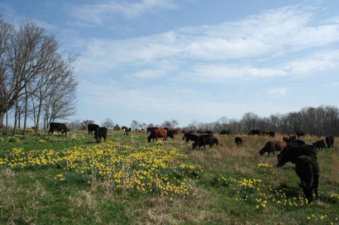 herd in daffodils, 3:10
