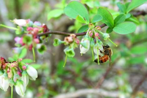 honeybee on blueberry bloom