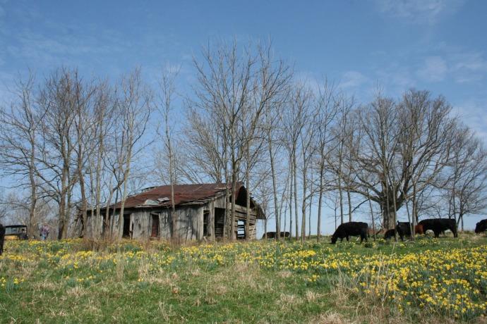 huffman cabin, big tree, cows