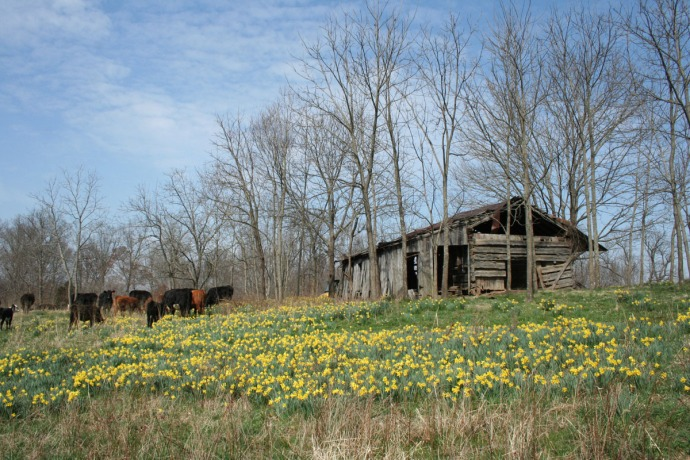huffman cabin side, daffodils, cows