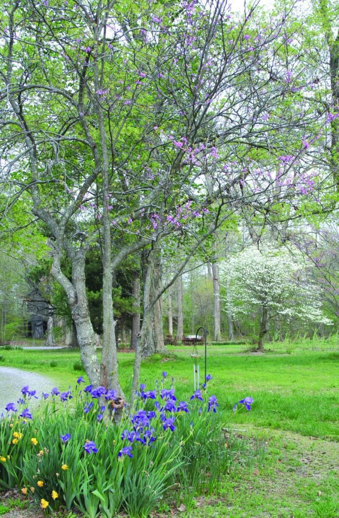 iris, dogwood blooming