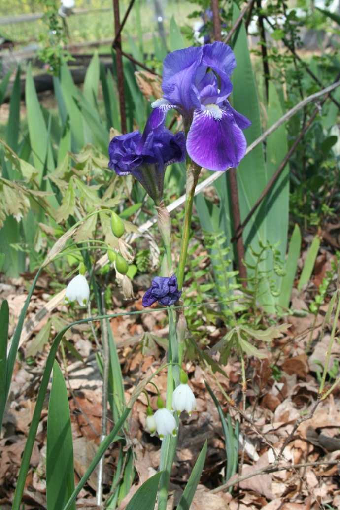 Iris & snowdrop