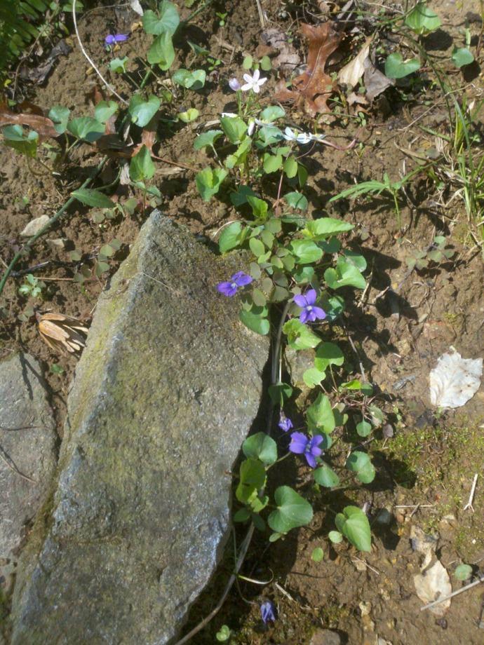 purple violets