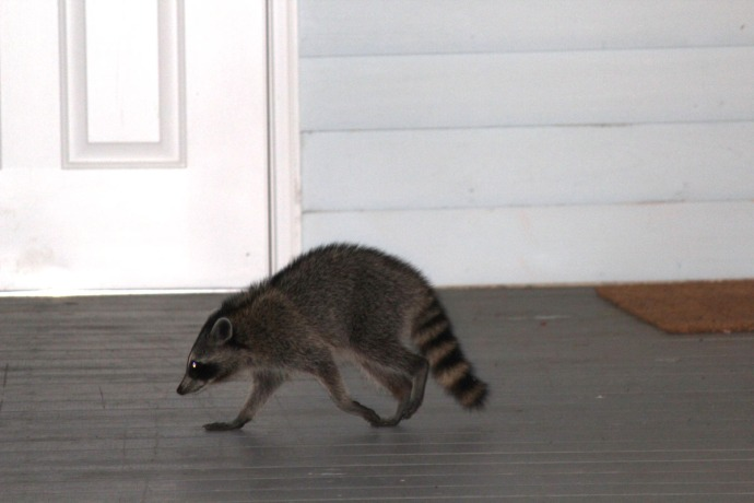 Dauf coon walking