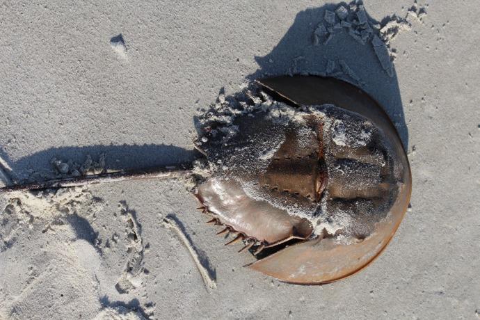 Daufuskie horseshoe crab