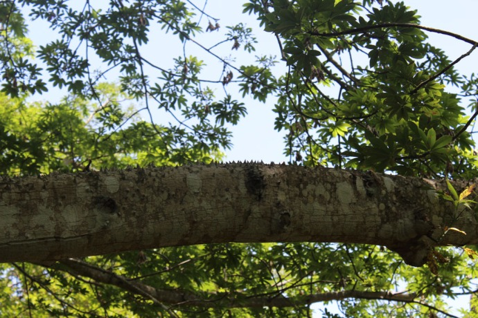 Ek Balam ceiba tree thorns