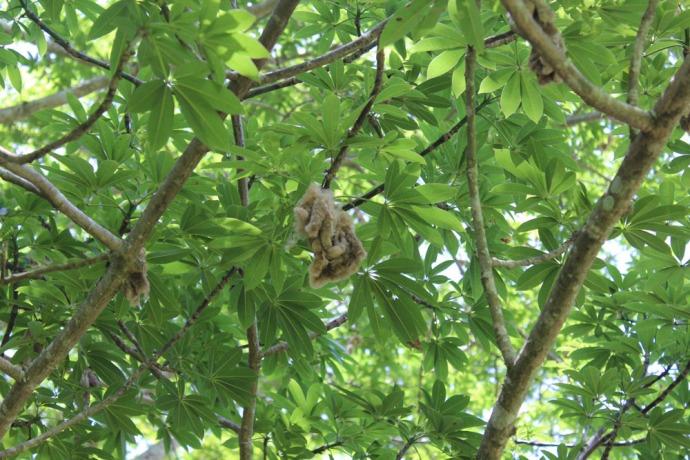 Ek Balam cieba tree blooms