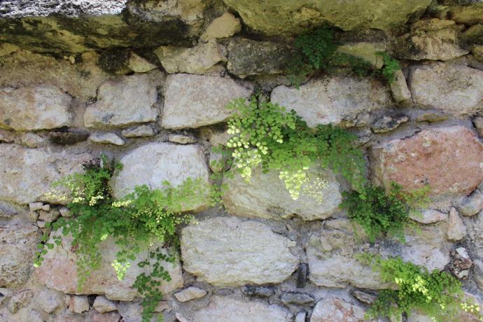 Ek Balam fern on stones
