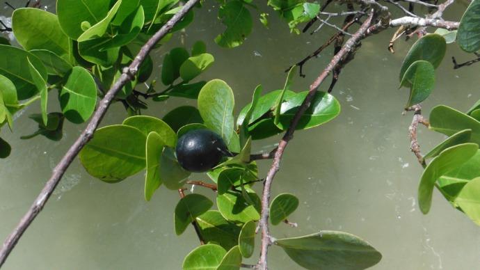 Sian Ka'an mangrove grape