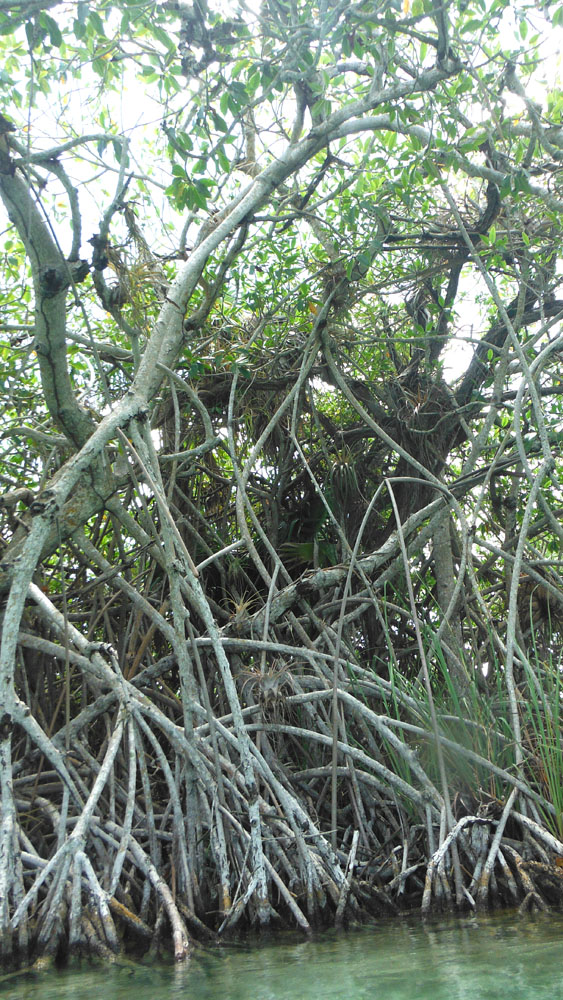 Sian Ka'an mangrove vert