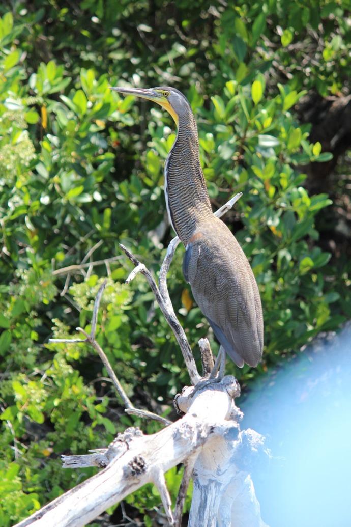 Rio Lagartos bird with yellow throat