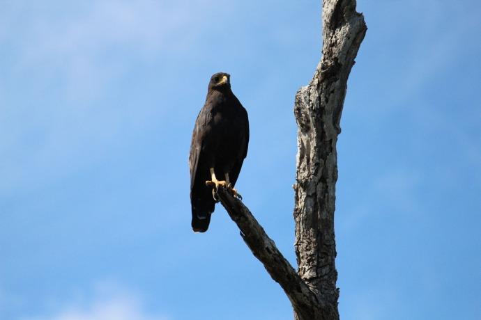 Rio Lagartos black hawk