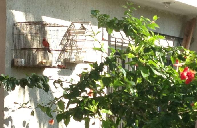 Rio Lagartos cardinal in cage