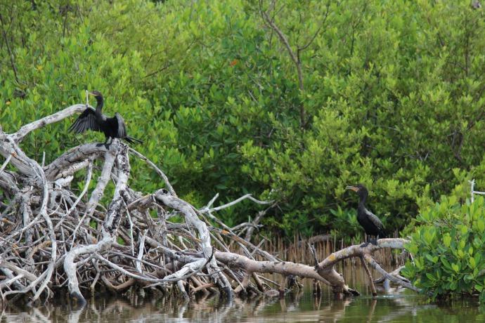 Rio Lagartos cormorants on mangrove