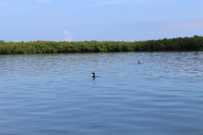 Rio Lagartos cormorants swimming