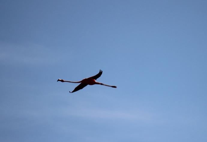 Rio Lagartos flamingo in flight