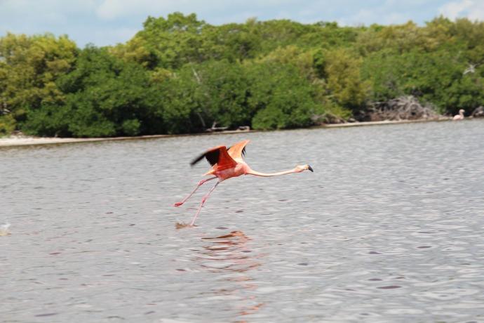 Rio Lagartos flamingo last step to flight