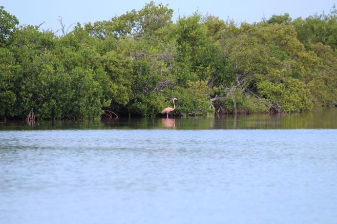 Rio Lagartos flamingo on river bank