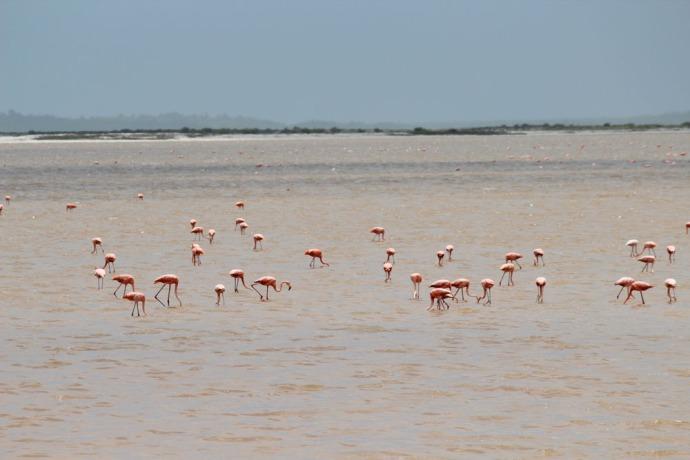 Rio Lagartos flamingoes feeding