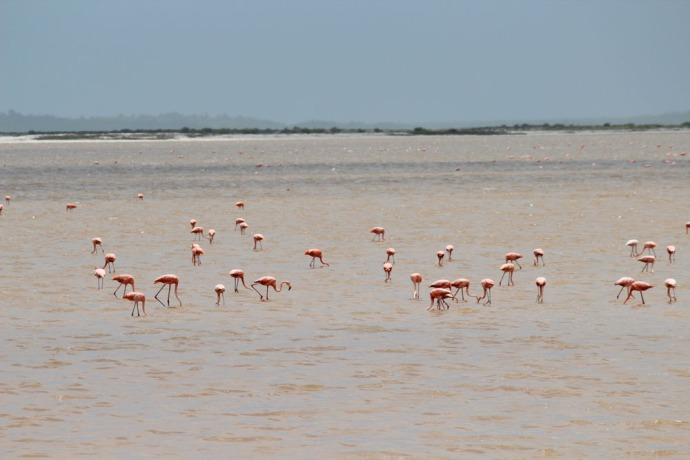 Rio Lagartos flamingoes feeding
