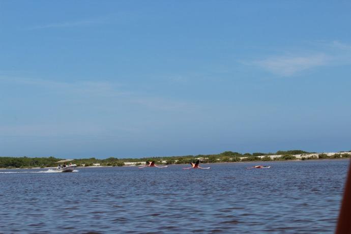 Rio Lagartos flamingoes flying, boat coming