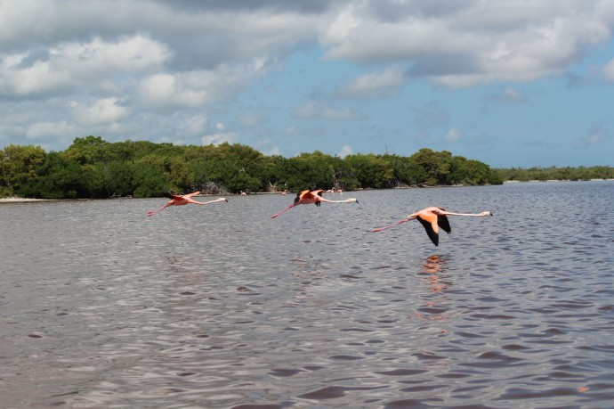 Rio Lagartos flamingoes flying