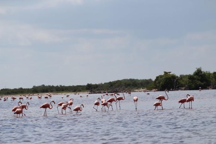 Rio Lagartos flamingoes group mid-range