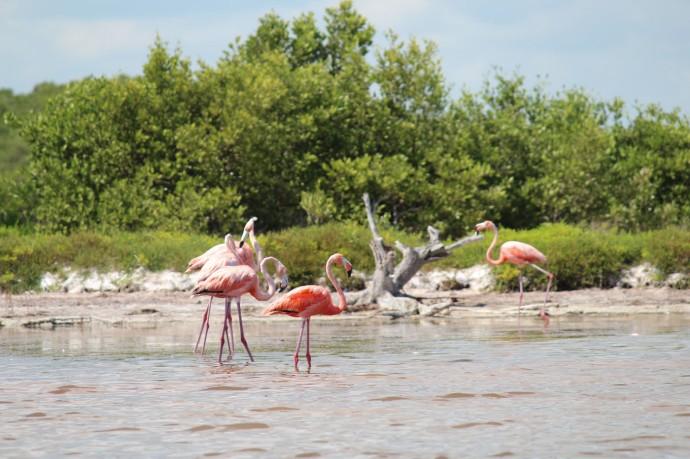 Rio Lagartos flamingoes preening