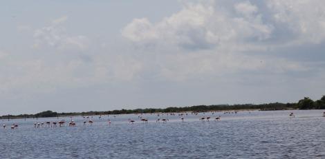 Rio Lagartos flamingoes wide view