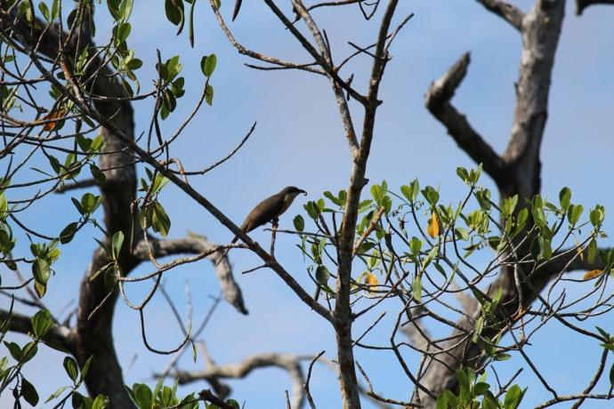 Rio Lagartos mangrove cuckoo