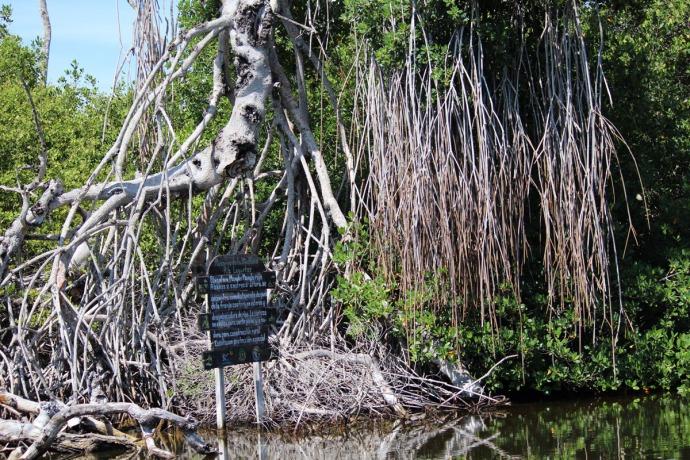 Rio Lagartos mangrove vert roots