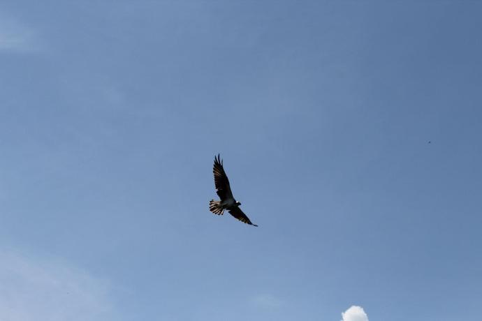 Rio Lagartos osprey flying