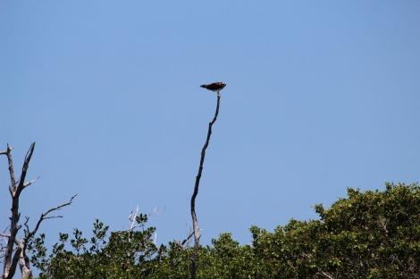 Rio Lagartos osprey on limb