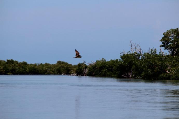 Rio Lagartos osprey swooping over river
