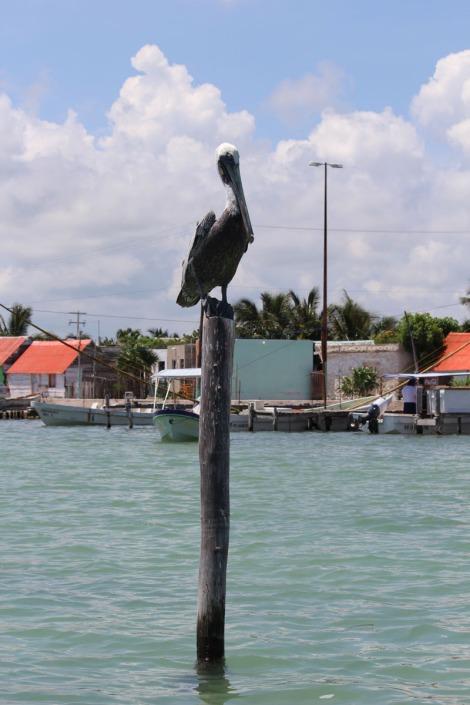 Rio Lagartos pelican on post