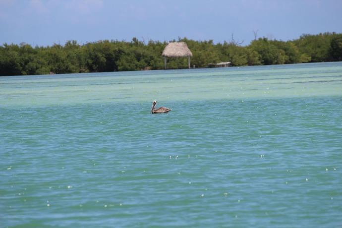 Rio Lagartos pelican on pretty water