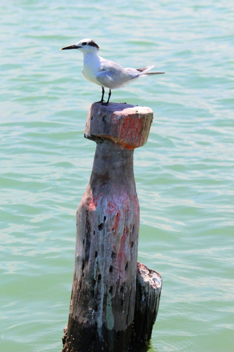Rio Lagartos tern on post